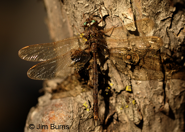 Fawn Darner male green eyes, Eau Claire Co., WI, September 2016