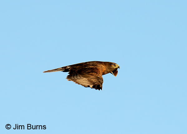 Ferruginous Hawk dark morph adult flat wings