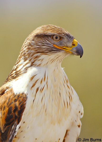 Ferruginous Hawk head shot