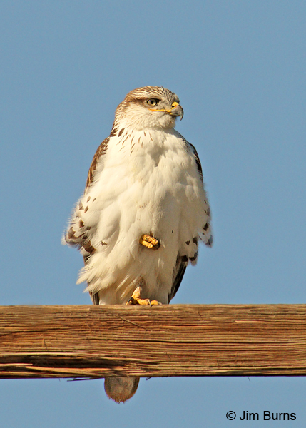 Ferruginous Hawk juvenile perched