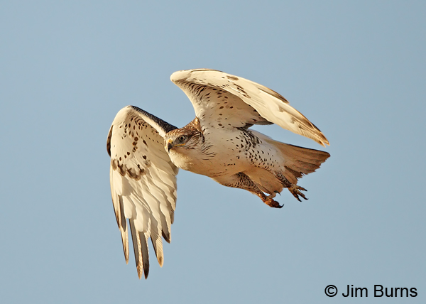 Ferruginous Hawk juvenile in flight, ventral view