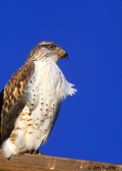 Ferruginous Hawk on pole ventral view