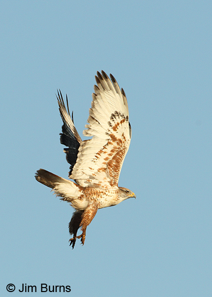 Ferruginous Hawk sunrise