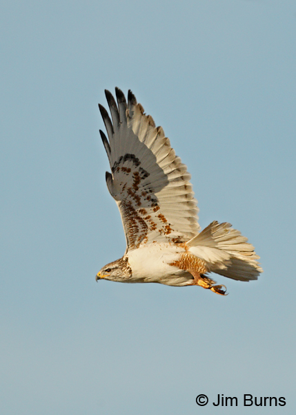 Ferruginous Hawk underwing