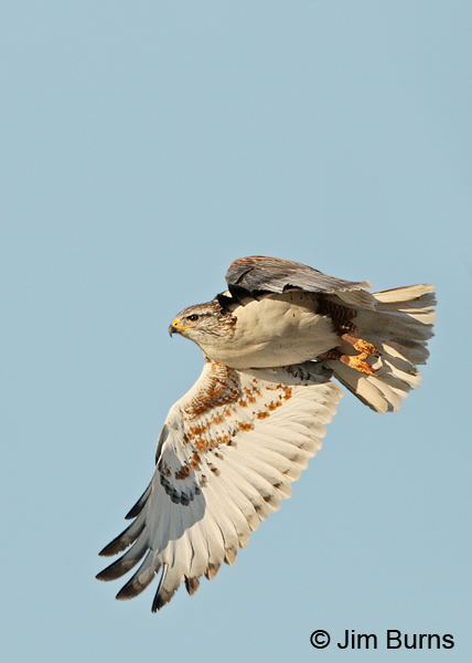 Ferruginous Hawk underwing #2