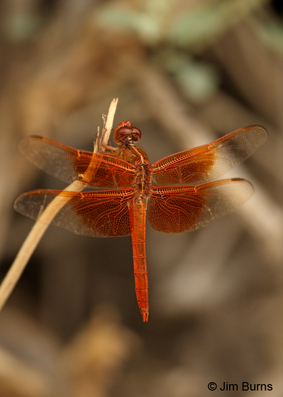 Flame Skimmer male wings, Pima Co., AZ, August 2011