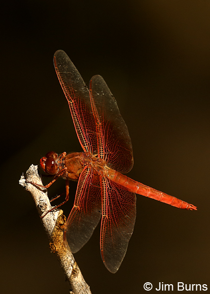 Flame Skimmer male, Pinal Co., AZ, October 2017