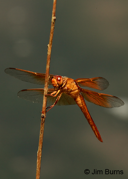 Flame Skimmer male ventrolateral view, Maricopa Co., AZ, August 2013