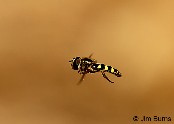 Flower Fly  (Syrphus ribesii) in flight, Oak Creek, Arizona 7283