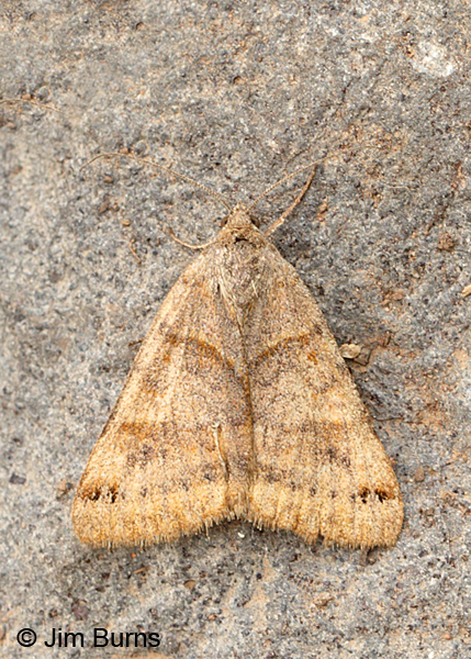 Forage Looper Moth, Arizona