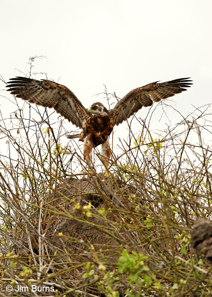 Galapagos Hawk fledgling testing wings