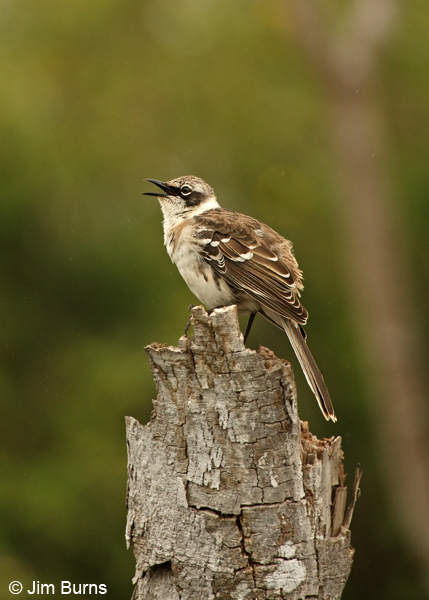 Galapagos Mockingbird singing