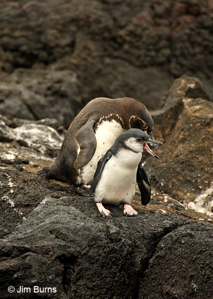 Galapagos Penguin parent with chick