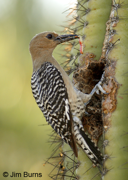 Gila Woodpecker female with caterpillar for nestling