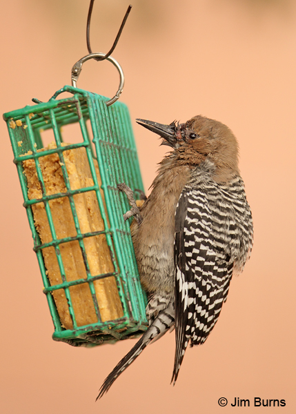 Gila Woodpecker female with genetic abnormalites