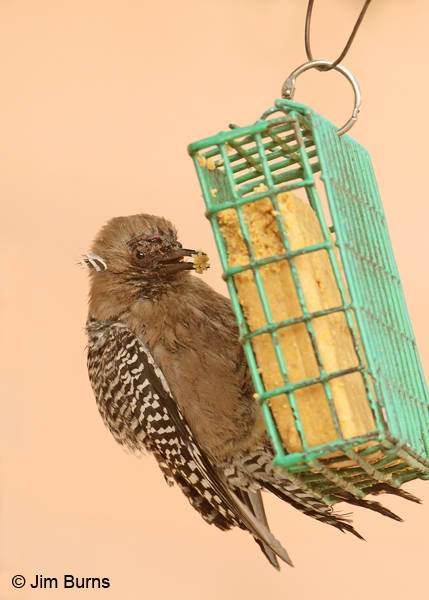 Gila Woodpecker female with genetic abnormalities #2