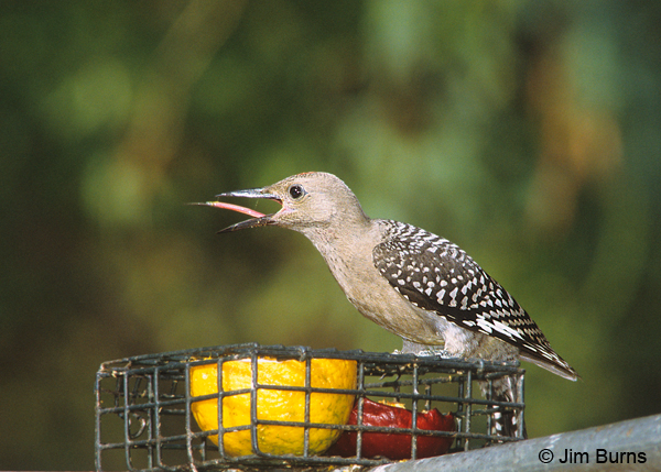 Gila Woodpecker juvenile male at fruit feeder
