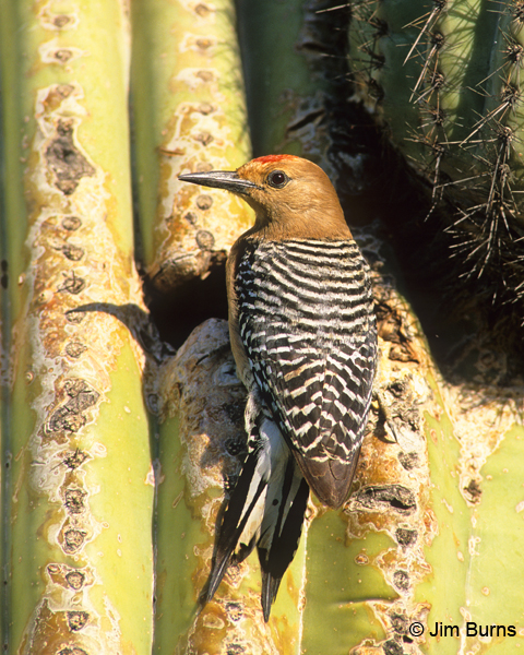 Gila Woodpecker male at saguaro hole