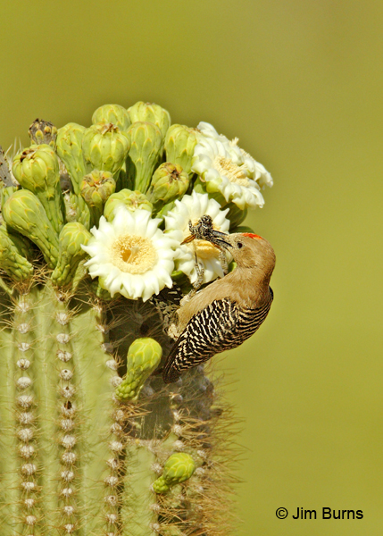 Gila Woodpecker male picking up bee at saguaro super market