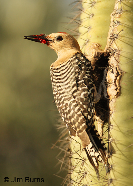 Gila Woodpecker male with Saguaro fruit for nestling