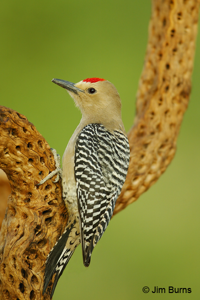 Gila Woodpecker male