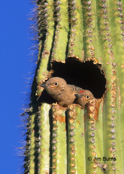 Gila Woodpecker nestlings in saguaro hole