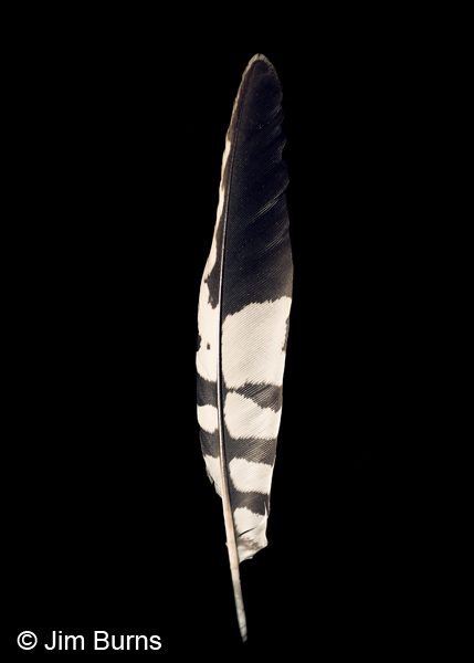 Gila Woodpecker tail feather detail