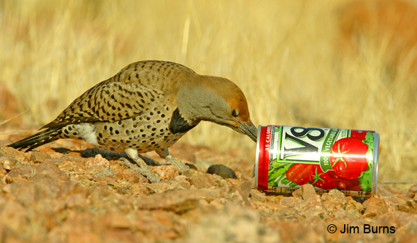 Gilded Flicker female exhibiting opportunistic feeding