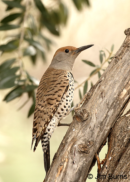 Gilded Flicker female in tree