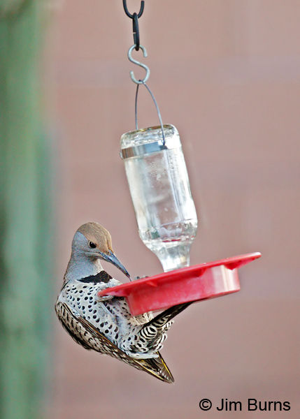 Gilded Flicker female on hummingbird feeder