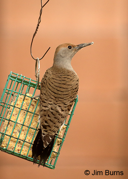 Gilded Flicker female on suet feeder