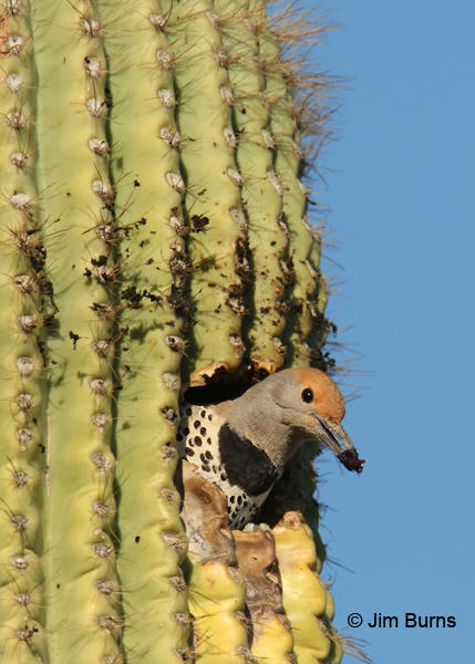 Gilder Flicker female removing saguaro flesh from nest cavity