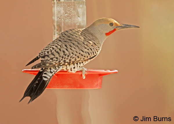 Gilded Flicker male at hummingbird feeder horizontal