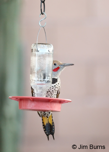 Gilded Flicker male at hummingbird feeder