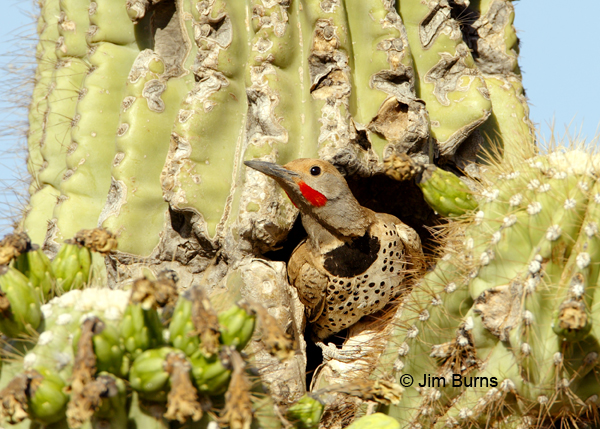Gilded Flicker male at saguaro nest hole