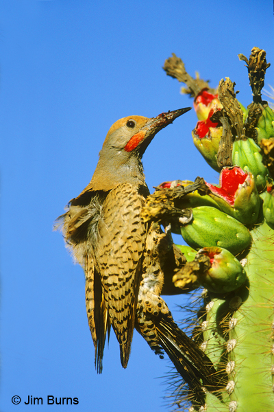 Gilded Flicker male at saguaro fruit