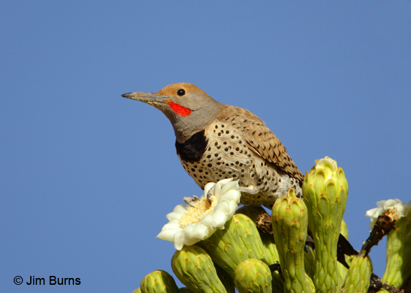 Gilded Flicker male in saguaro flowers