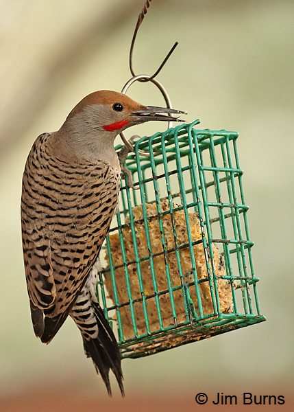 Gilded Flicker male on suet feeder.
