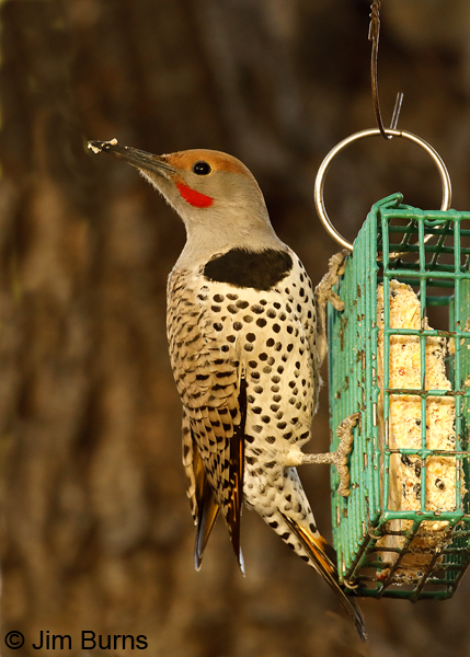Gilded Flicker male on suet feeder