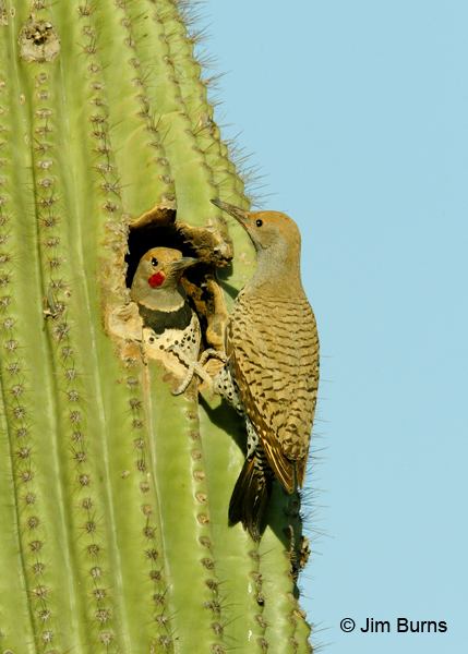 Gilded Flicker pair at saguaro nest hole