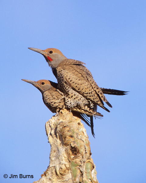 Gilded Flicker pair copulating