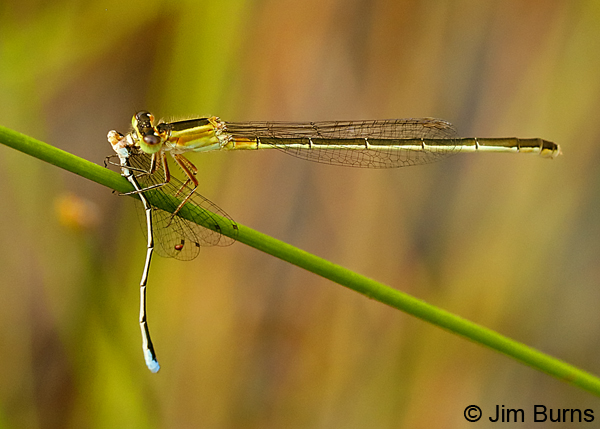 Golden Bluet teneral female devouring male Southern Sprite, Liberty Co., FL, May 2018--9140