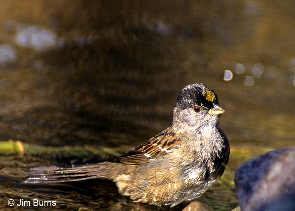 Golden-crowned Sparrow bathing