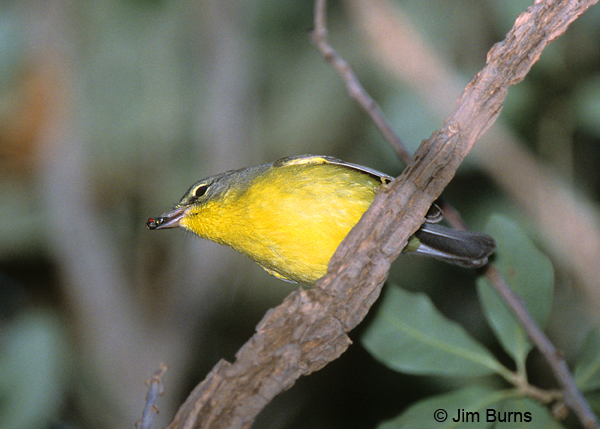 Golden-crowned Warbler with insect