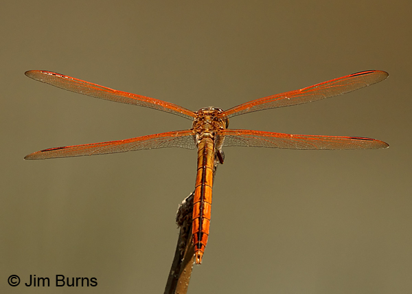 Golden-winged Skimmer male dorsal view, Chesterfield Co., SC, May 2014