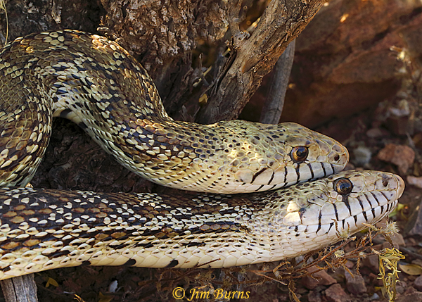 Gopher Snakes copulating, smaller male on top--2454