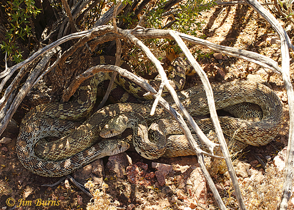 Gopher Snakes mating--2496
