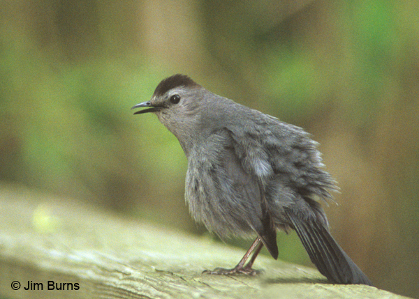 Gray Catbird puffed up and feeling it