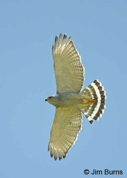 Gray Hawk adult in flight