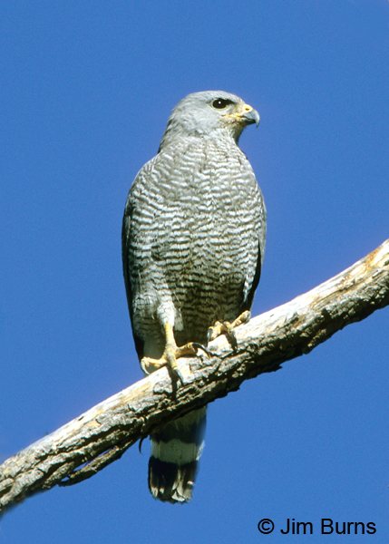 Gray Hawk adult